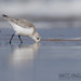 Sanderling by Matt Hazleton