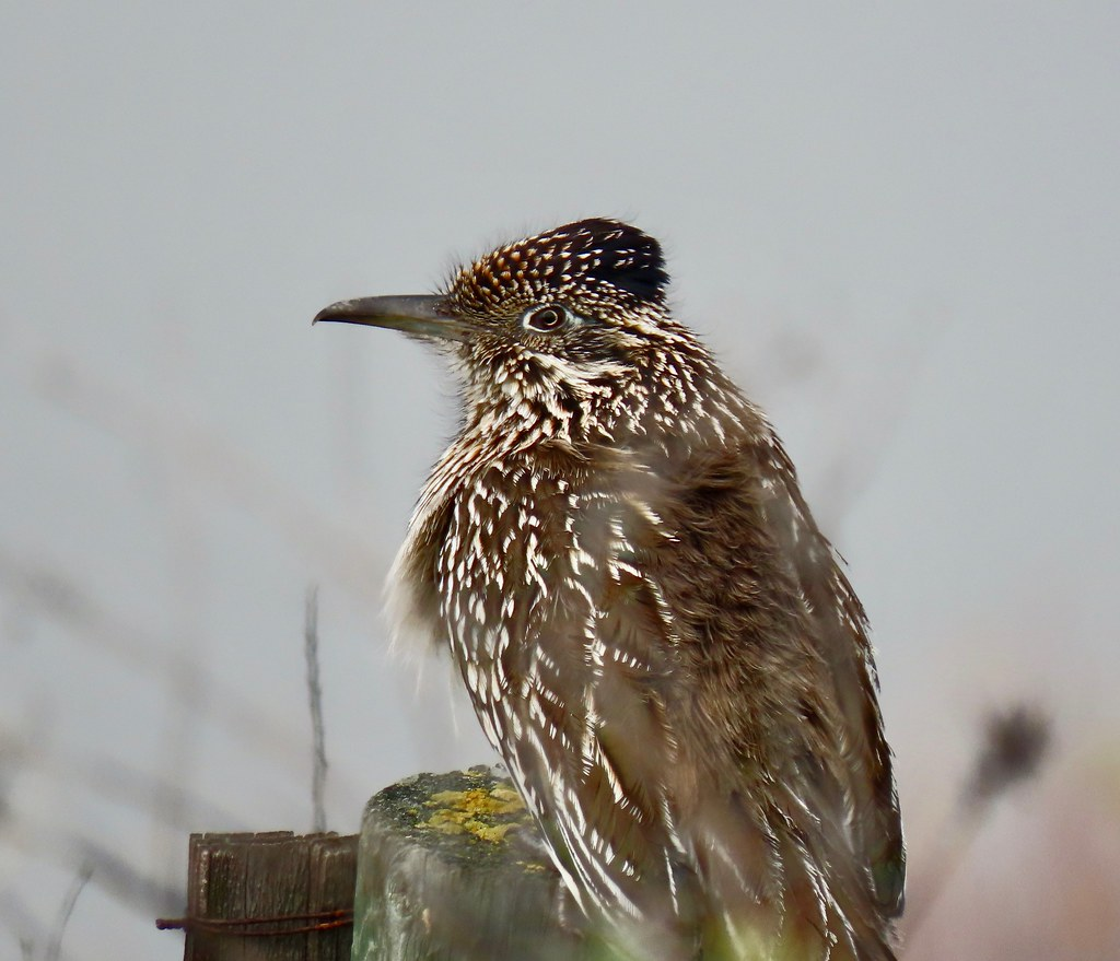 Greater Roadrunner - female | Sex determined by barking call… | Flickr