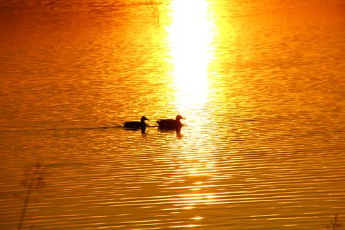europe england cheshire outdoor nature lake beauty sunset birds ducks sunlight simplysuperb colour water greatphotographers