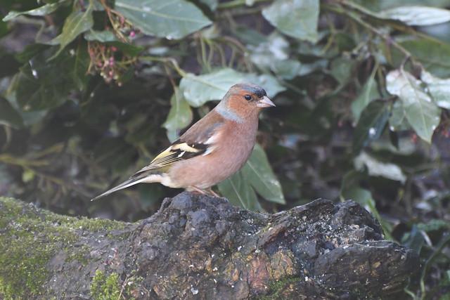 Chaffinch (m) in my garden