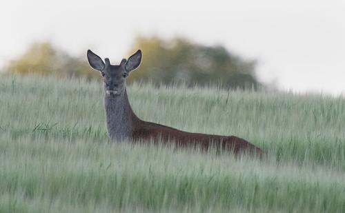 D1235125 Roe Deer, Barley Field | by Nick Sidle