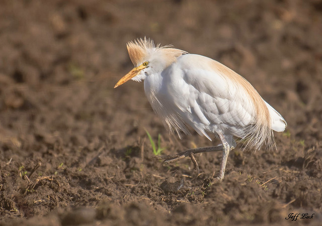 DSC6699  Cattle Egret...