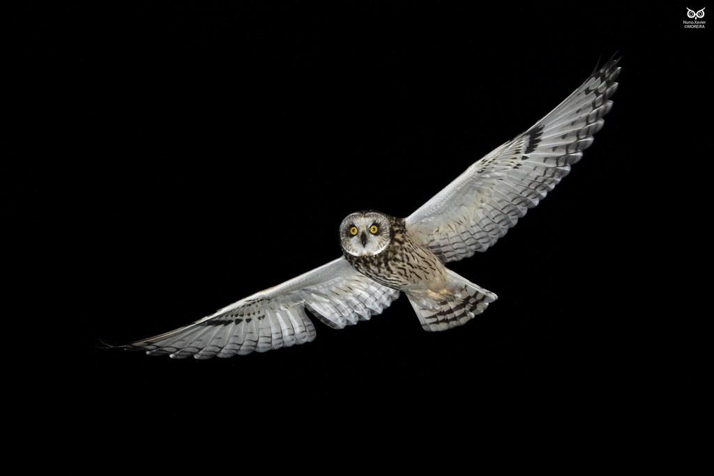 Coruja Do Nabal Short Eared Owl Asio Flammeus Vila Fran