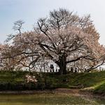 桜_5/ Sakura