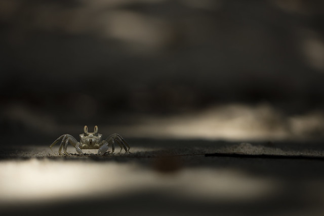 Young Horned Ghost Crab