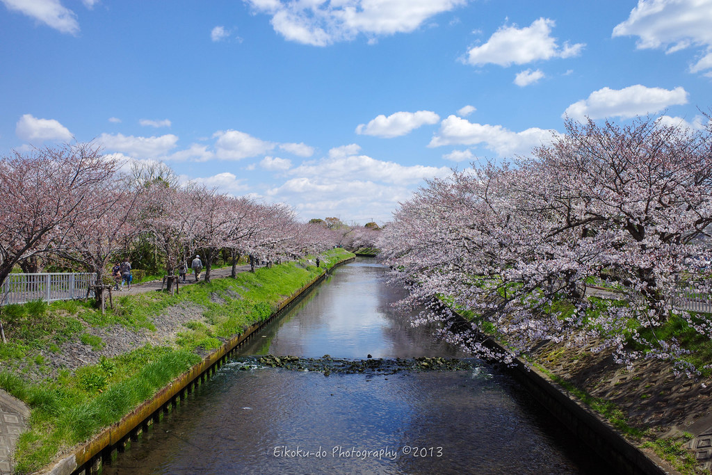 Yoshino cherry tree at Ebi River /  Funabashi-city