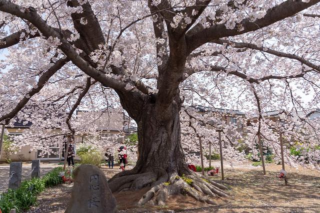 円心の桜2019-04-06