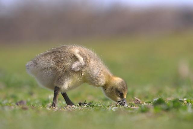 Cute Gosling Feeding on grass