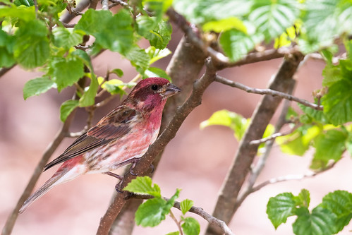 Purple Finch (Haemorhous purpureus), Williamson County, Tennessee