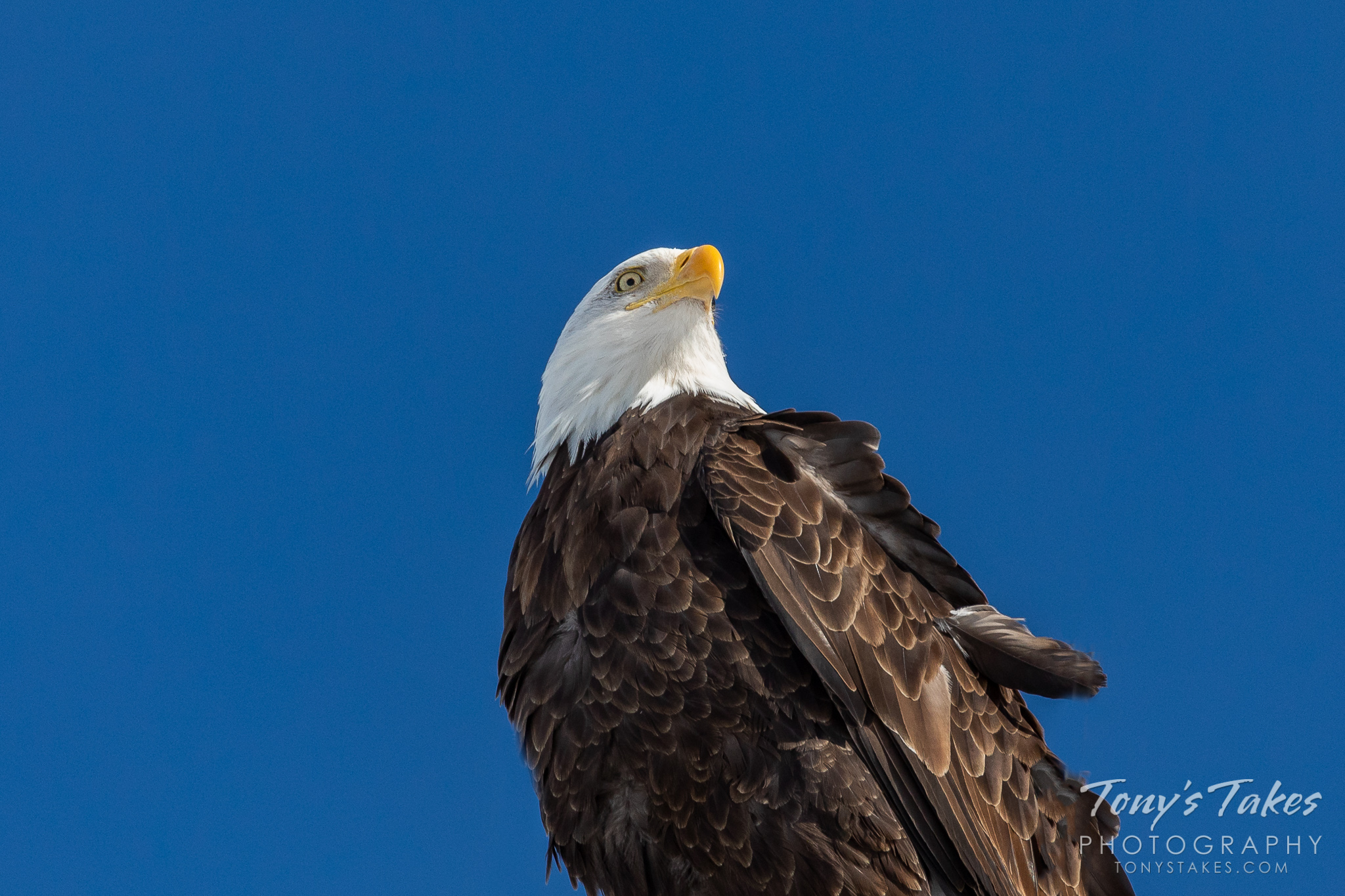 The national symbol on the United States of America. (© Tony's Takes)