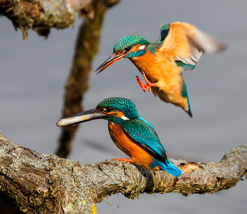 Female kingfisher is desperate for her fish | by Bengeo Photos