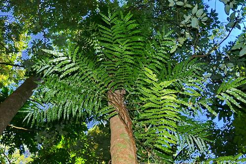 Teratophyllum wilkesianum | by Ben Caledonia