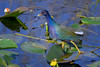 Purple Gallinule walking on lily pads at Shark Valley, Everglades National Park, Florida, Shark River Slough by diana_robinson