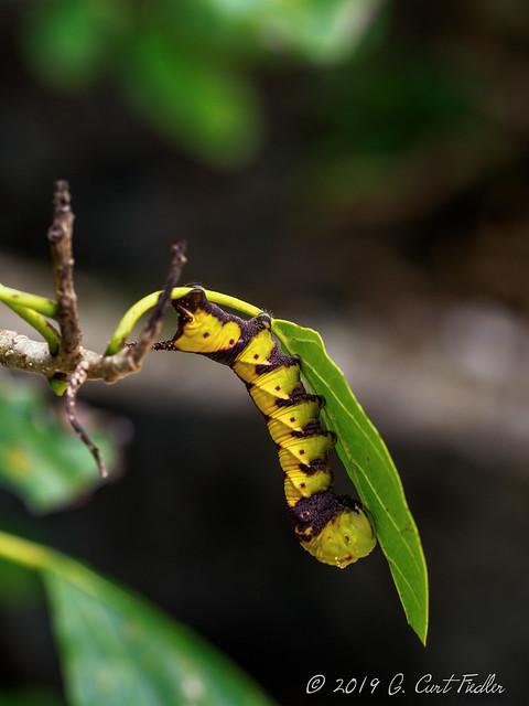 Yellow Ugly Caterpillar