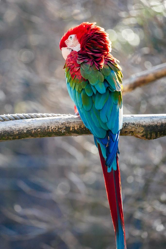 Papageienstudie 2 - Bokeh