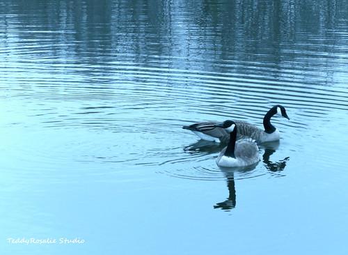 Swimming Canadian Geese | by cordeliasmom2012
