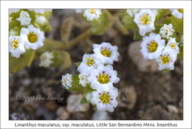 Linanthus maculatus, ssp. maculatus, Little San Bernardino Mtns. linanthus