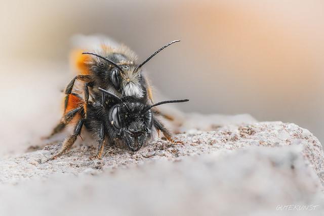 So, 2019-03-17 14:45 - ~Mauerbienen bei der Paarung~ seit dem es inzwischen einige sonnige Tage gab und die Temperaturen etwas wärmer wurden, tummeln sich die Männchen der Mauerbienen vor den Niströhren - es entbrennt ein wahrer Kampf um die etwas später schlüpfenden Weibchen. Nicht jedes Männchen hat das Glück eines der Weibchen, wie hier auf dem Foto zu sehen, zu erwischen ;-) Es war äußerst schwer hier ein guten Stack hinzubekommen, da sich die Mauerbienen ständig bewegen, vor allem die Fühler... Das Foto hat mich deshalb einiges an Nerven gekostet. Ich hoffe es hat sich gelohnt ;-) Manueller Focus Stack aus 23 Einzelfotos, freihändig. ***Wie sowas geht habe ich in der aktuellen Sonderausgabe 1 von Makrofoto beschrieben -> www.makro-treff.de/makrofoto-sonderausgabe-1