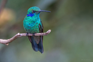 Colibri thalassinus | by Wilmer Quiceno