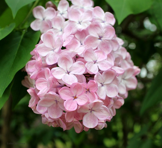 Common lilac, pink