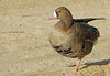 Greater White-fronted Goose (Anser albifrons) by Francisco Piedrahita