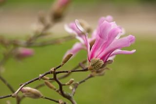 Magnolia   by MarkusR.