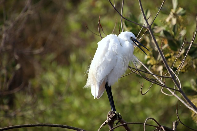 Little egret (Egretta garzetta) , Kotu stream, the Gambia
