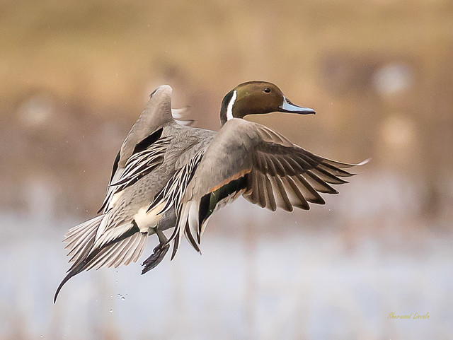 _SLL0345 Pintail