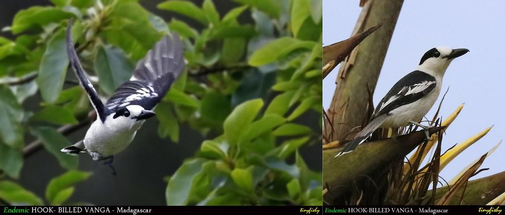 (Species #1209) Endemic HOOK-BILLED VANGA - [ Ranomafana Nat.Park, Madagascar ]