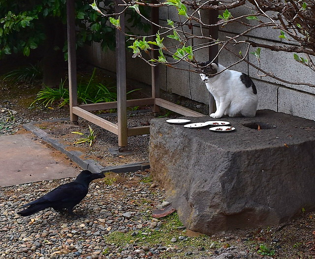Crow vs Cat at Japanese Buddhist Temple