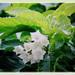 Mesmerising flowers of Vallaris glabra