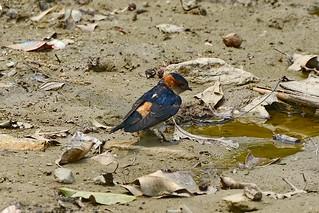 Рыжепоясничная ласточка, Cecropis daurica nipalensis, Red-rumped Swallow   by Oleg Nomad