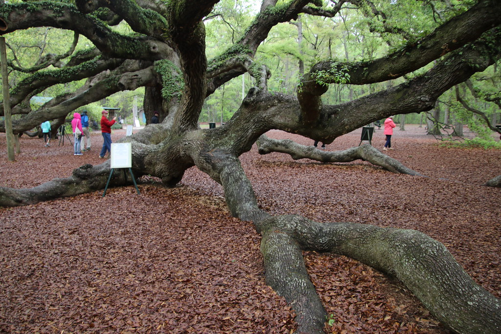 The Angel Oak Tree (John's Island, Charleston, South Carol