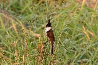 Краснощекий бюльбюль, Pycnonotus jocosus pyrrhotis, Red-whiskered Bulbul   by Oleg Nomad