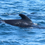 Long-finned pilot whale 1