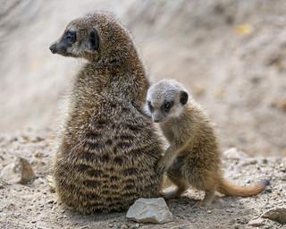 Baby meerkat next to his mother   by Tambako the Jaguar
