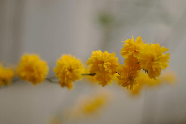 Fleurs de printemps corète du Japon