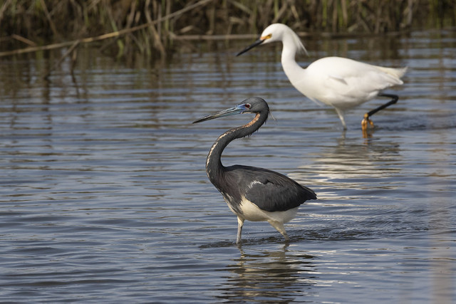 Tricolored Heron and Snowy Egret....6O3A5294CR2A