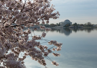 Cherry Blossoms with Jefferson | by eschweik