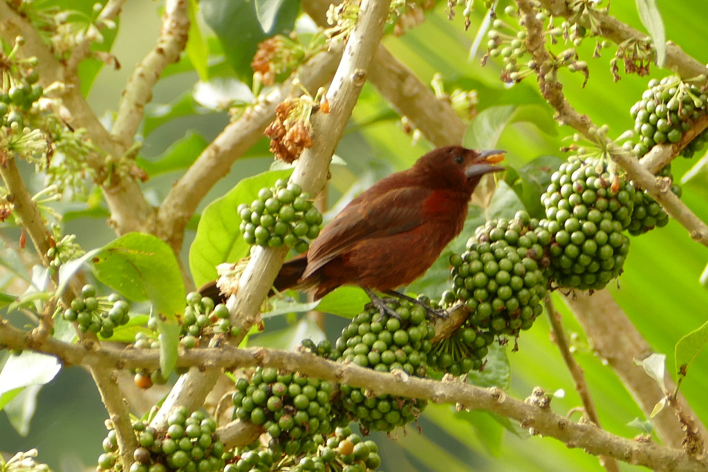 Fauna: Silver-beaked tanager (Ramphocelus carbo) eating Hollowheart (Acnistus Arborescens) fruit