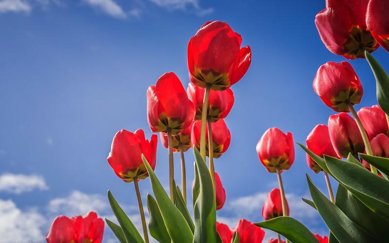 Обои небо, листья, облака, цветы, синева, голубое, весна, тюльпаны, красные, бутоны, алые, ракурс картинки на рабочий стол, раздел цветы - скачать