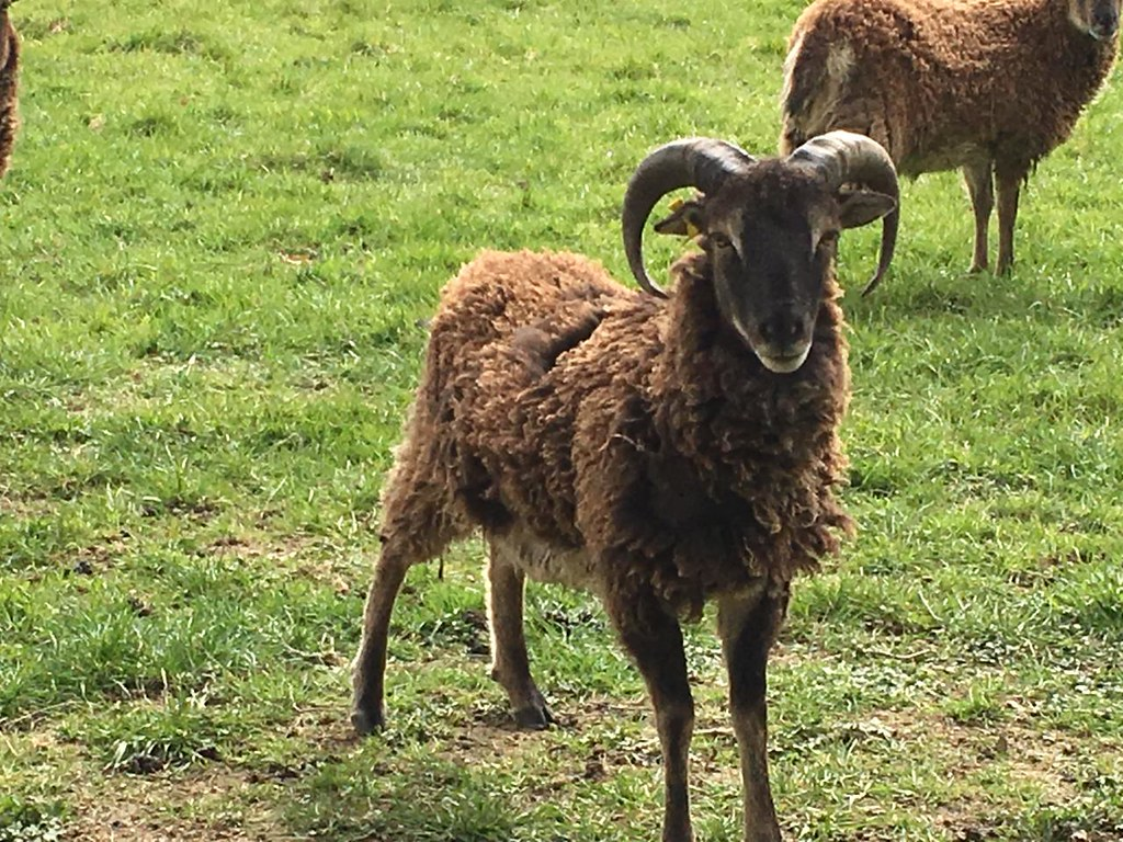 Brown sheep Robertsbridge to Battle