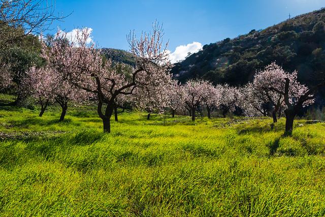 Almendros en flor, La Contraviesa