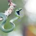 Boiga cyanea, Green cat snake - Phu Suan Sai National Park by Rushen!