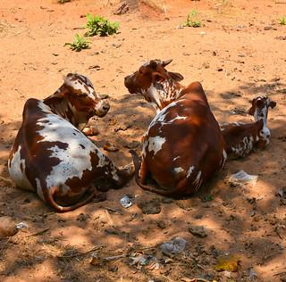 Cows in Calangute | by Atli Harðarson