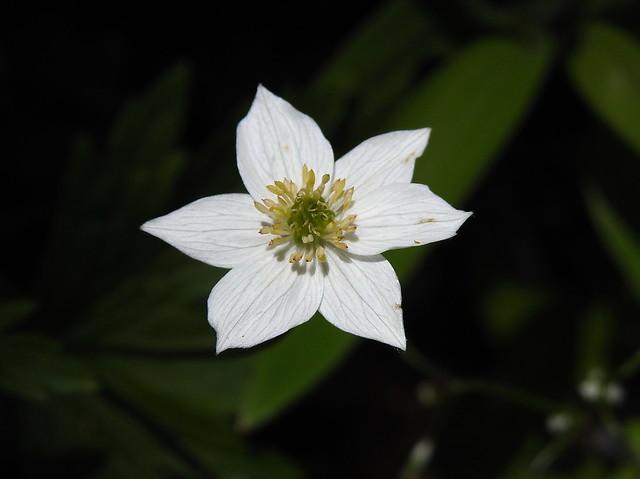 Anemone antucensis