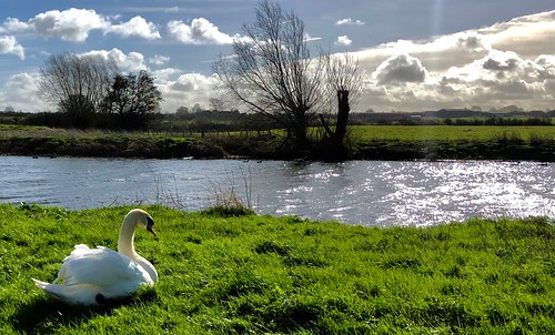 river avon swan bird