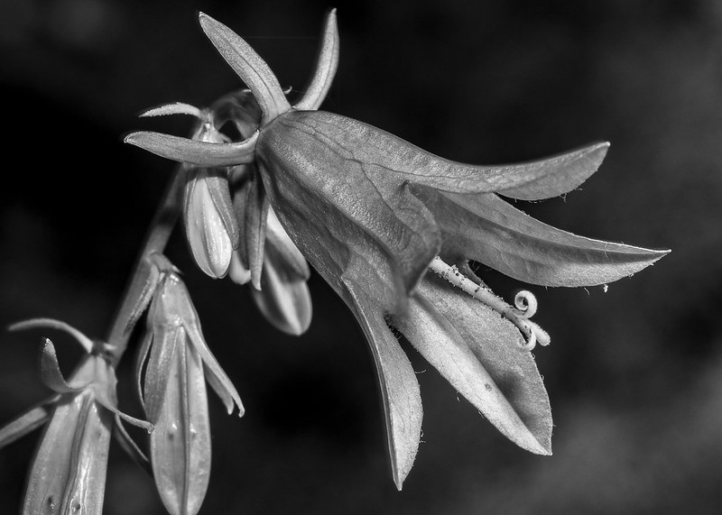 Campanula rapunculoides