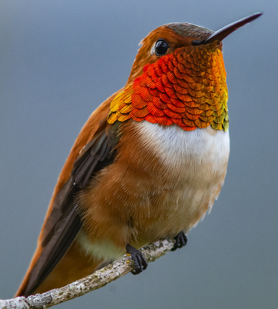 Rufous Hummingbird Portrait