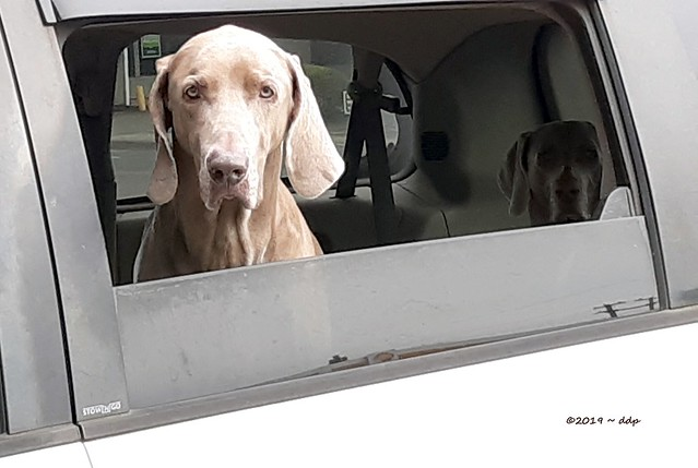 Smoochable Looking Weimaraner in Truck Window